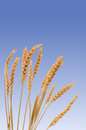 Wheat closeup of crop against a blue sky Stock Image