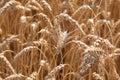 Wheat Closeup On Nature