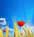 Wheat cones with red poppies against the beautiful sky Stock Photo