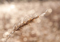 Wheat covered in layer of ice Royalty Free Stock Images