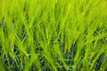 Wheat crop closeup green agriculture concept Stock Photography