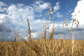 Wheat crop crops are growing up and it s time to collection Royalty Free Stock Photography