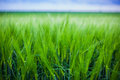 Wheat crop green field closeup Stock Images