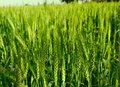 Wheat crop green of at an indian farm Royalty Free Stock Photo