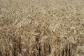 Wheat crop rural ready for harvest western nsw australia Stock Photos