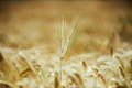 Wheat detail in old photo style with with vignette effect Royalty Free Stock Photos