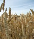 Wheat detail at summer time low angle of a field Stock Images