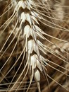 Wheat ear Stock Image