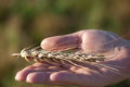 Wheat ear in hand Royalty Free Stock Photos