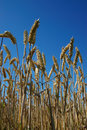 Wheat ears in blue sky Royalty Free Stock Photo