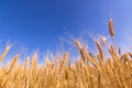 Wheat ears and blue sky. Royalty Free Stock Photo