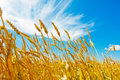 Wheat ears and cloudy sky Royalty Free Stock Photo