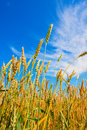 Wheat ears and cloudy sky Stock Photo