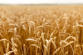 Wheat ears at the farm field, shallow depth of field.