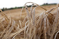 Wheat ears on field on evening Stock Images