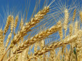 Wheat ears golden against blue sky background Royalty Free Stock Photos