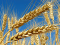 Wheat ears golden against blue sky background Stock Images