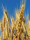 Wheat ears golden against blue sky background Stock Photos
