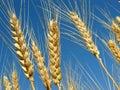Wheat ears golden against blue sky background Stock Image