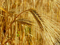 Wheat ears golden against ripening field Royalty Free Stock Images