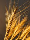 Wheat ears in golden light Royalty Free Stock Photo