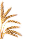 Wheat ears isolated on the white background Stock Images