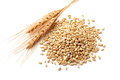 Wheat ears with wheat kernels Royalty Free Stock Photo