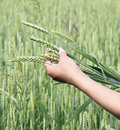 Wheat ears woman hand in close up a background of field Royalty Free Stock Images
