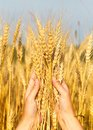 Wheat ears in the women hand and ladybird on stems Royalty Free Stock Photos