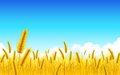 Wheat Farm Royalty Free Stock Photography