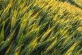 Wheat Farm Field At Golden Sun...