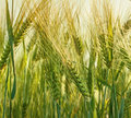 Wheat farming Royalty Free Stock Photos