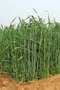 Wheat in the farmland crops china rural areas Stock Photo