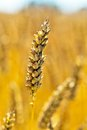 Wheat in a field Royalty Free Stock Photography