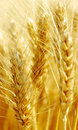 Wheat field. Royalty Free Stock Image