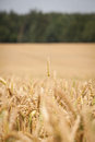 Wheat field in a Stock Photography