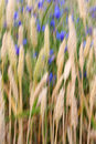 Wheat field abstract Stock Photos