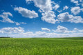 Wheat field against blue sky with white clouds. Agriculture scen Royalty Free Stock Photo