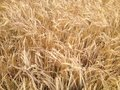 Wheat field against golden. Royalty Free Stock Photo
