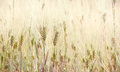 Wheat field agricultural landscape spikes of closeup cultivated farmland cereals plants in soft focus Royalty Free Stock Photos