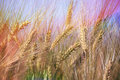 Wheat field agricultural landscape spikes of closeup cultivated farmland cereals plants in soft focus Stock Images