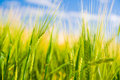 Wheat field. Agriculture Royalty Free Stock Photo
