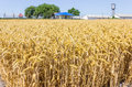 Wheat field on the background of farm buildings Royalty Free Stock Photo