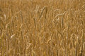 Wheat field backgrownd Royalty Free Stock Photo