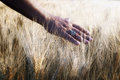 Wheat field in backlight Royalty Free Stock Photo