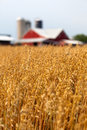 Wheat field and barn Stock Photography