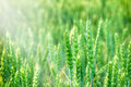 Wheat field beautiful green and sunlight Royalty Free Stock Photo