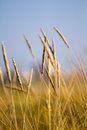 Wheat field beautiful image of harvest concept Royalty Free Stock Photo