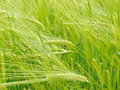 Wheat field beautiful triticum spp Royalty Free Stock Images