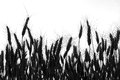 Wheat field ,black and white, silhouette, black and white photo Royalty Free Stock Photo